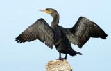 20130311 Drying Cormorant   2978