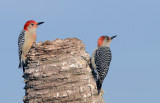 20130317 Red-bellied Woodpecker Pair  _3244