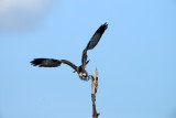 20130408 Osprey Dive  3907