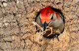 20130411 Red-bellied Woodpecker cleaning out Starling nest_4124.jpg