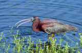 20130419 Glossy Ibis with Snail  _4499