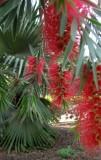 Bottlebrush (Callistemon Citrinus) And Palms