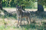 The wolf on a summer day / Ulven en sommerdag