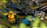 Prothonotary, Indigo Bunting, Northern Parula