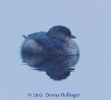 Baby Grebe or Ruddy Duck?