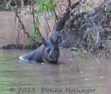 Tapir (female) takes a bath