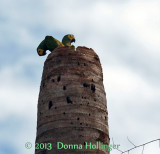 2 Macaws making a nest