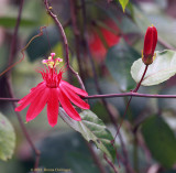 Red Passion Flowers