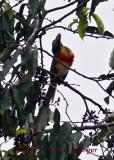 Lettered Aracari Toucan in Cecropia Tree