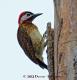 Spotbreasted Woodpecker