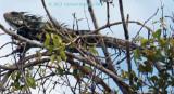 Large Iguana balanced ontop of a Tree