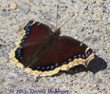Mounring Cloak Butterfly at Mount Auburn