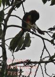 Lettered Aracari Grooming on Cecropia Tree