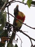 Lettered Aracari  in Cecropia Tree