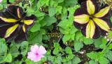 Edgy Petunias