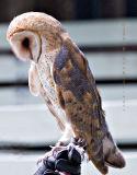 Very Calm Barn Owl