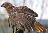 Red Tail Hawk, Wings Extended
