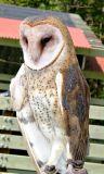 VINS Barn Owl
