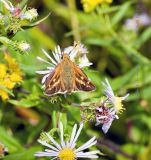 Leonard's Skipper (butterfly) on Aster