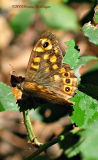 Butterfly, Speckled Wood (Pararge aegeria)