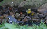 Yellow-throated Warbler and Blackburnian Warbler