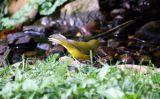 Hooded Warbler (female)