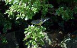 Magnolia Warbler (fall plumage)