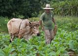 ox and farmer