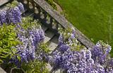 wisteria on steps