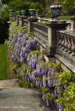 wisteria 2 vertical