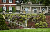 westbury terrace wisteria