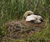 swan nest©.jpg