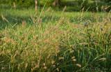 tall grass©.jpg