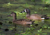 Male and Female Blue Winged Teals