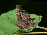 Vinbärsfuks - Polygonia c-album - Comma Butterfly