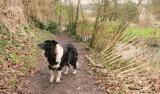 Lady, my collie dog