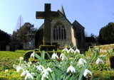 Snowdrops  at  St.  Mary's.