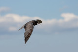 Guifette noire en vol --  Black Tern in flight