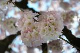 kenwood_cherry_blossoms_2013