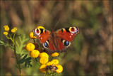 Peacock Butterfly - Dagpauwoog_MG_1100
