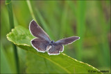 Short-tailed Blue - Staartblauwtje   MG_4704