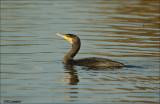 Cormorant - Aalscholver