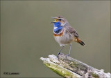 Bluethroat - Blauwborst -Luscinia svecica  (Scroll)