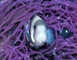 Anemone Fish Dressed in Purple