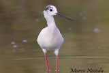 Black winged Stilt (Cavaliere d'Italia)
