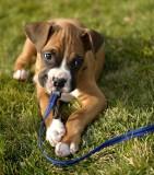 Boxer Puppy - Tyson