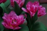 Fancy tulips...