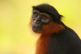 Rode Franjeaap -  Western Red Colobus
