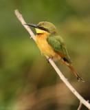 Dwergbijeneter - Merops pusillus - Little Bee-eater