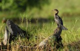 Afrikaanse Dwergaalscholver - Long-tailed Cormorant